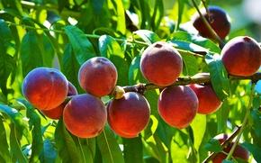 Картинка зелень, листья, солнце, ветки, плоды, фрукты, персики