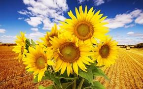 Картинка поле, облака, цветы, природа, подсолнух, field, nature, flowers, clouds, sunflower