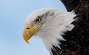 Обои птица, голова, клюв, ястреб, Белоголовый орлан