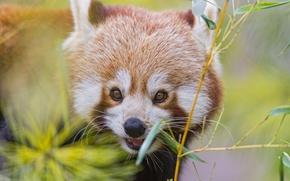 Картинка ветка, бамбук, красная панда, firefox, малая панда, ©Tambako The Jaguar