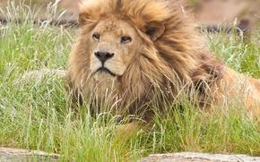 Обои кошка, грива, лев, морда, трава