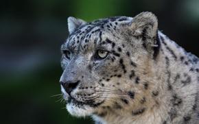 Картинка хищник, дикая кошка, Panthera uncia, Snow leopard