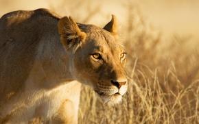 Картинка взгляд, морда, охота, львица, крадётся