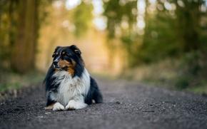 Картинка road, dog, bokeh, australian shepherd
