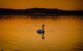 Картинка swan, twilight, sunset, lake, dusk