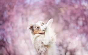 Картинка цветы, поза, собака, весна, цветение, нежно, бордер-колли, обои от lolita777
