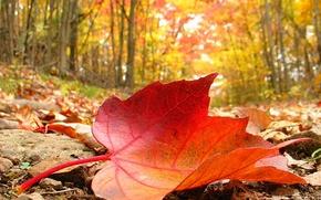 Картинка лист, Осень, кленовый