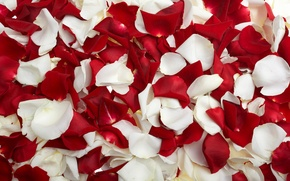 Обои лепестки, роза, белые, красные