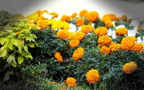 Обои цветы, макро, клумба