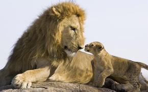 Обои камень, львенок, лев