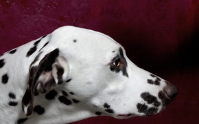 Картинка морда, фон, собака