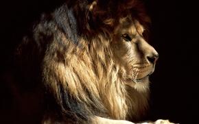 Обои кошка, взгляд, лев, настроение, зверь