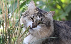 Картинка кошка, трава, кот, морда