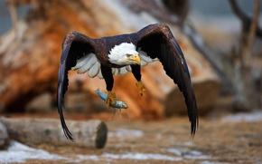 Картинка птица, рыба, орёл, добыча, улов