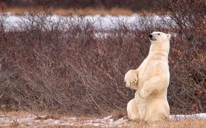 Картинка медведь, Канада, Canada, белый медведь, кусты, стойка, полярный медведь, Manitoba, Манитоба
