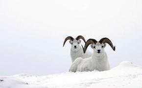 Обои белый, снег, mountain ram, горный баран, sheep