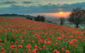 Картинка поле, солнце, закат, цветы, оранжевый, маки, Вечер, красные