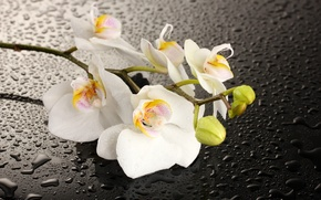 Картинка цветок, вода, капли, тень, орхидея, белые лепестки