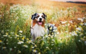 Картинка поле, цветы, собака, обои от lolita777, аусси
