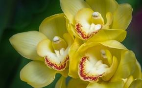 Обои макро, орхидеи, экзотика