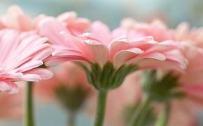 Картинка цветы, макро, лепестки, герберы, розовые