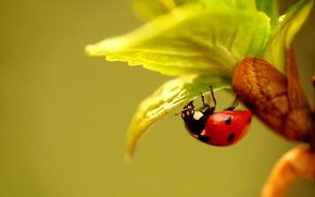 Картинка листья, растение, божья коровка, жук, насекомое