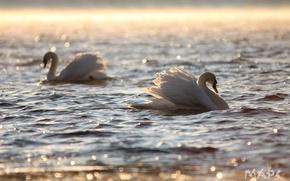 Картинка вода, блики, рябь, пара, белые лебеди