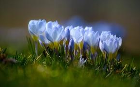 Обои шафран, макро, крокусы, боке, весна