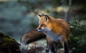 Картинка лиса, рыжая, красава