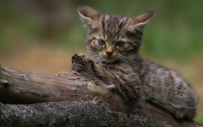 Обои котёнок, лесная кошка, взгляд, дикая кошка, бревно