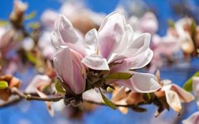 Обои цветы, тюльпановое дерево, магнолия, весна