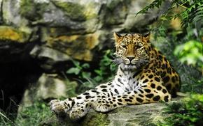 Картинка взгляд, хищник, леопард, дикая кошка