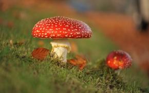 Обои осень, макро, грибы, мухоморы