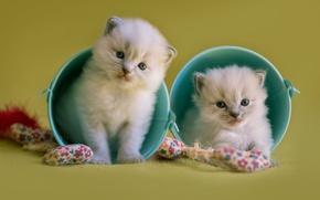 Картинка кошки, фон, игра, игрушки, пара, котята, пушистые, двое, милашки, ведра, мелкие, голубоглазые, ведерки, рэгдолл, лапочки