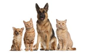 Картинка кошки, собака, дружба, белый фон, рыжие, компания, собачка, друзья, маленькая, овчарка, немецкая, обои от lolita777