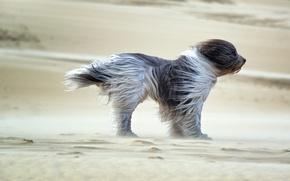Картинка dog, sands, wind, fell