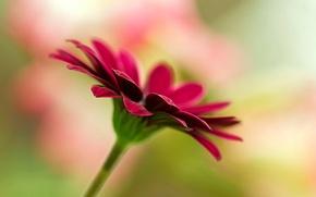 Картинка цветок, цветы, фон, розовый, обои, размытие, wallpaper, flower, широкоформатные, background, полноэкранные, HD wallpapers, цветочек, широкоэкранные