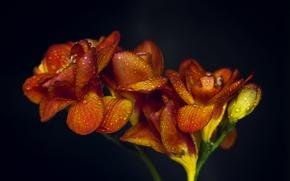 Картинка капли, макро, цветы, оранжевые, Flowers, macro, orange, drops
