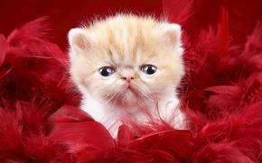 Обои взгляд, котенок, пух