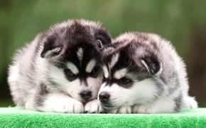 Картинка щенки, дуэт, хаски