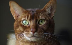 Обои взгляд, Абиссинская кошка, глаза, фон