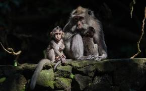 Картинка малыш, обезьяны, мама