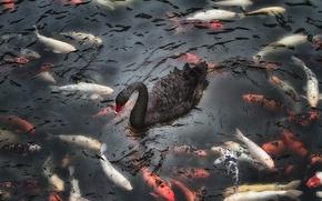 Картинка рыбы, природа, озеро, лебедь