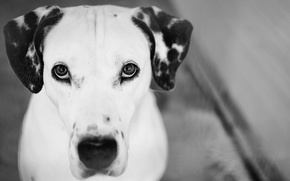 Картинка black and white, look, Photography, Dalmatian