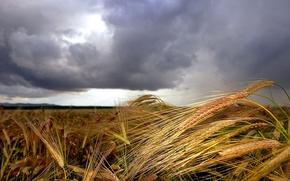 Обои поле, Колосья, облака