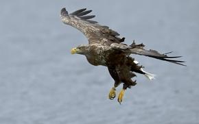 Картинка птица, полёт, орёл