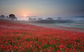 Картинка солнце, деревья, закат, цветы, туман, маки, Поле, вечер, красные, дымка, безоблачное небо