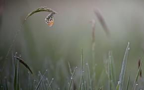 Картинка трава, капли, туман, роса, бабочка, утро, колоски