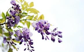 Картинка листья, цветы, ветки, белый фон, гроздья, глициния