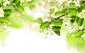 Картинка цветы, яблоня, ветки, весна, листья